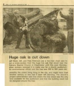 Huge oak tree cut down by Boen