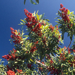 Exotic invasive tree - Brazilian Pepper Tree